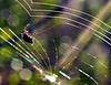 OLYMPUS DIGITAL CAMERA--Great shot of spider repairing and crosslinking the web.